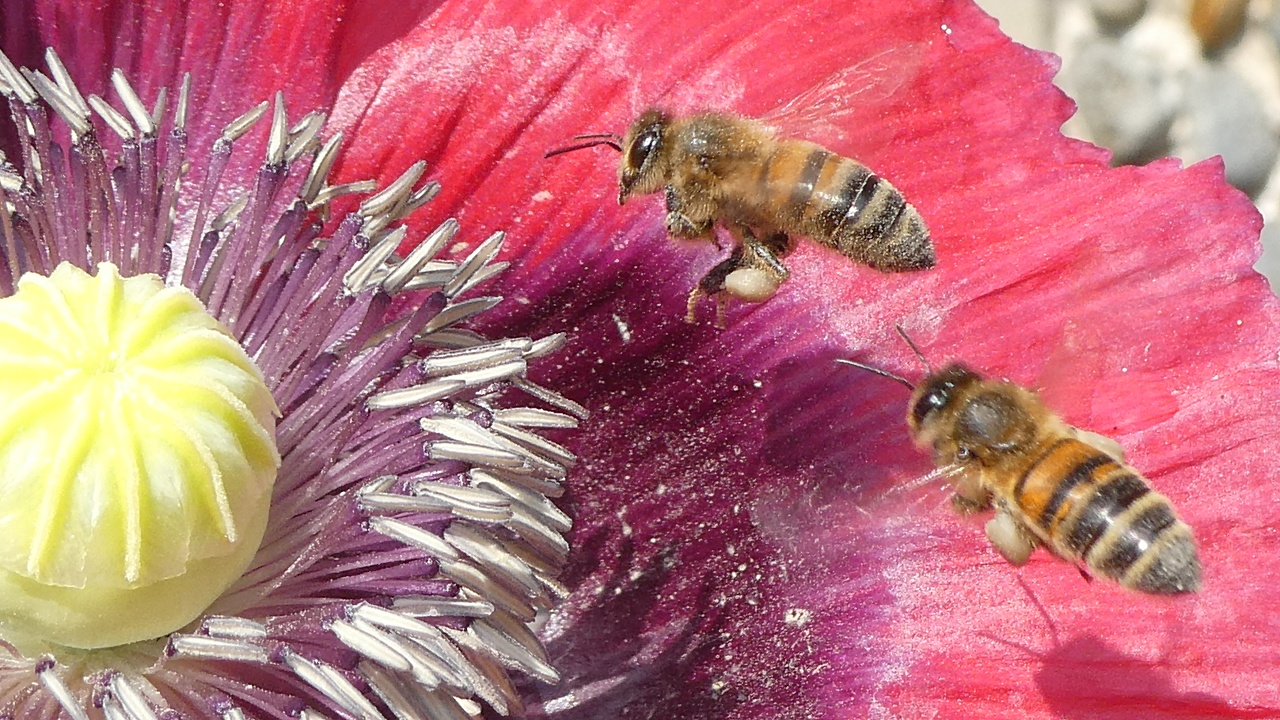Bees Foraging on Poppy